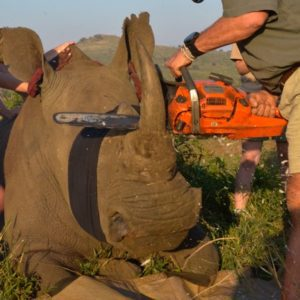 Dehorning Rhino