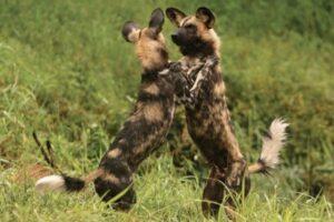 Wild Dogs at Madikwe